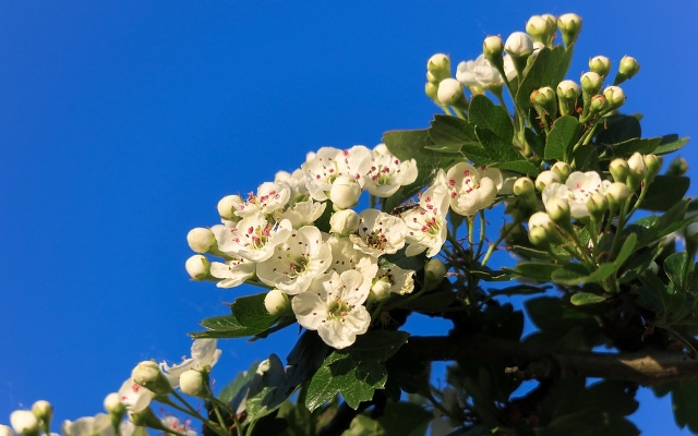 Hawthorn Blossoms Pic (640x400)